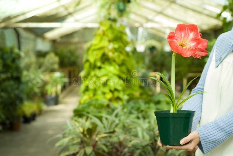 Prendendo a planta selecionada nas mãos foto de stock royalty free
