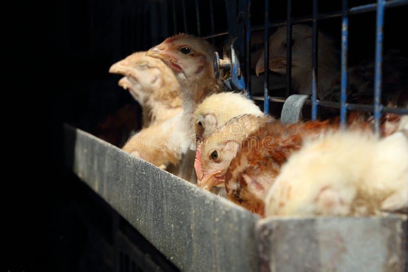 Prender da galinha em uma fábrica do ovo imagem de stock
