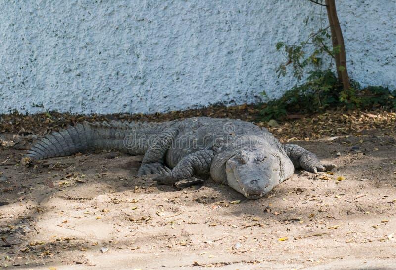 Prendere il sole del sole del coccodrillo del coccodrillo palustre fotografia stock