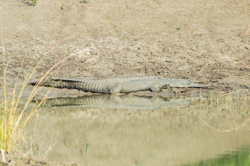 Prendere il sole di Sun dell'alligatore di Ghariyal fotografia stock libera da diritti