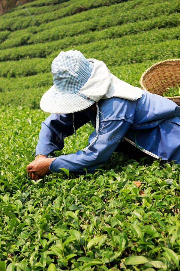 Prendere le foglie di tè fotografia stock