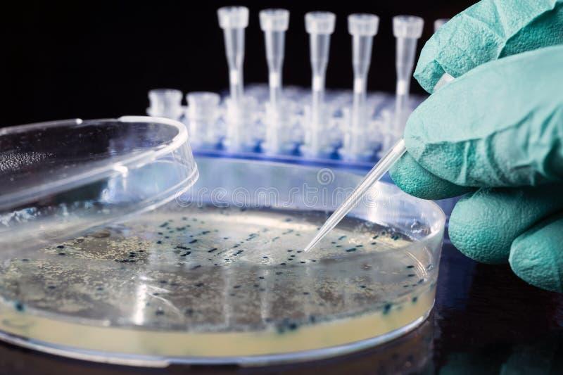Prendre les colonies bactériennes du plat d'agar photo libre de droits