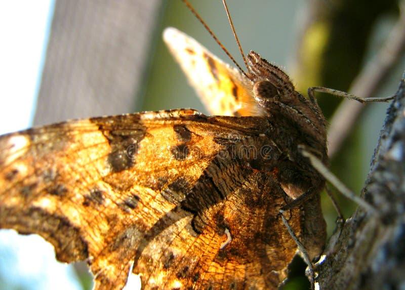 Prendre un bain de soleil de papillon image stock