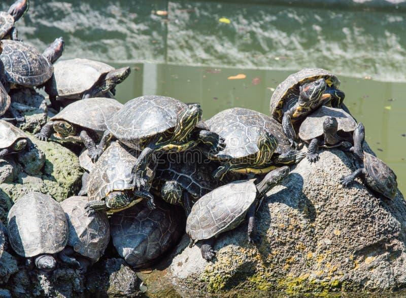 Prendre un bain de soleil de tortues photos stock
