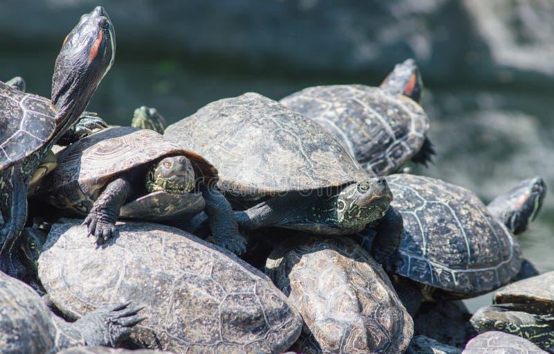 Prendre un bain de soleil de tortues photos libres de droits