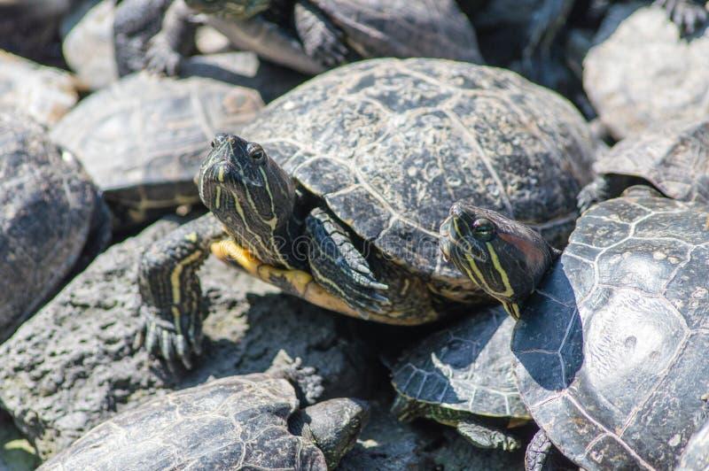 Prendre un bain de soleil de tortues photo libre de droits