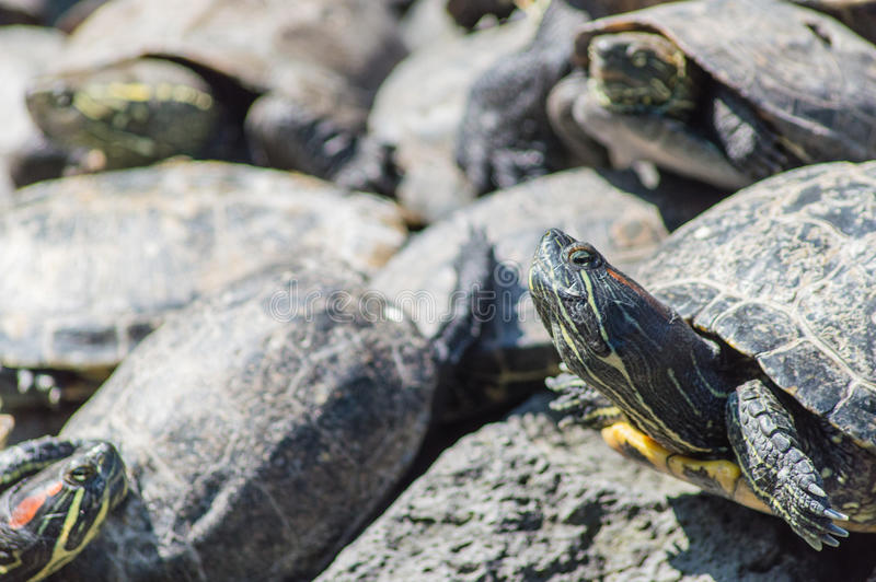 Prendre un bain de soleil de tortues image libre de droits