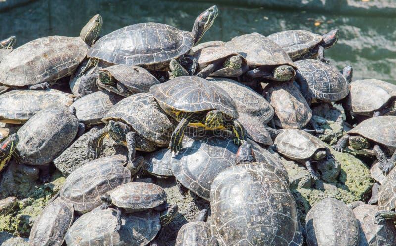 Prendre un bain de soleil de tortues image stock
