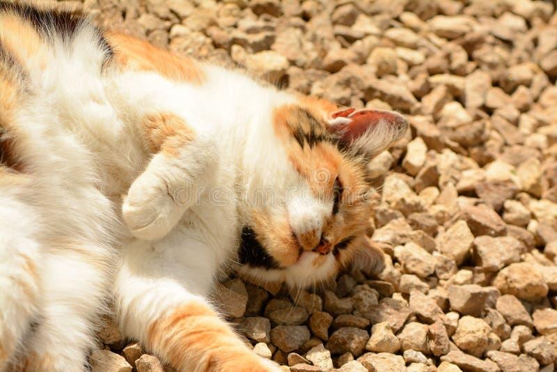 Prendre un bain de soleil plus âgé de chat de Tortoishell image libre de droits