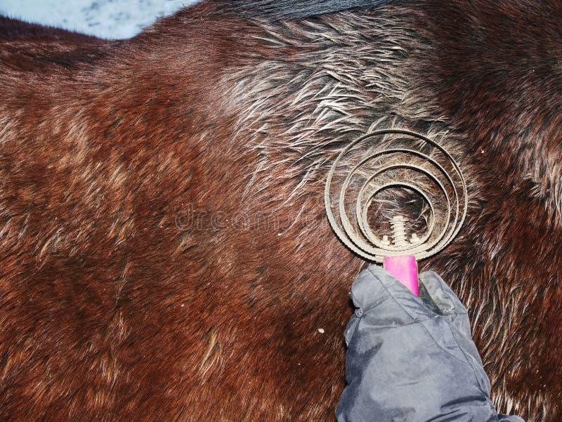 Preoccupandosi per un cavallo Donna che spazzola con la spazzola della polvere e del residuo di stoffa fotografie stock libere da diritti