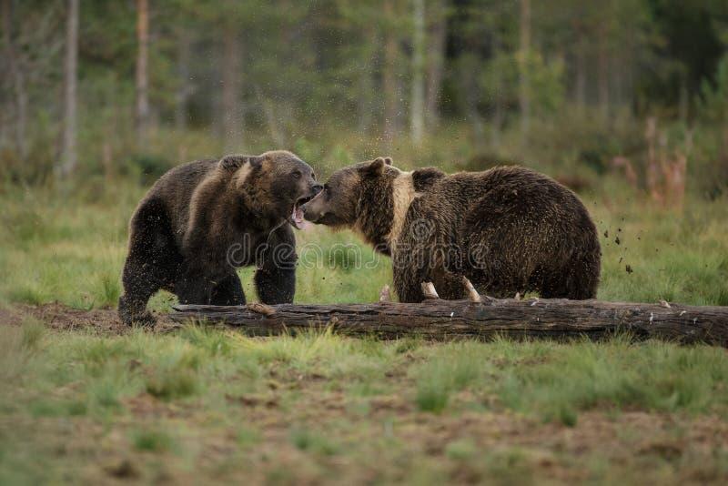 Preocupación del oso de Brother fotos de archivo
