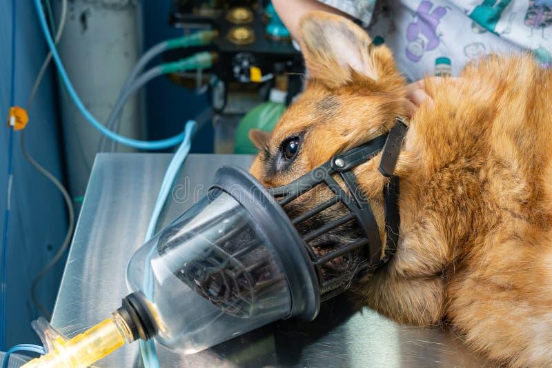 Preoxygenation em um dogwith sedated um focinho foto de stock royalty free