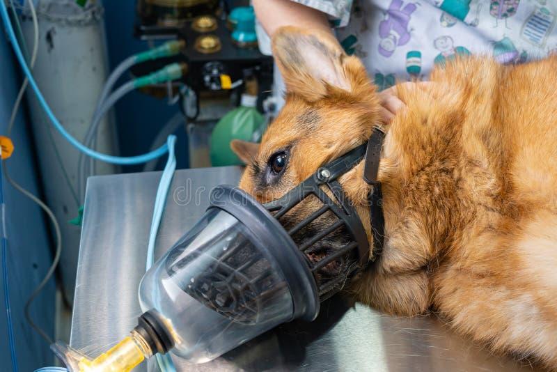 Preoxygenation em um dogwith sedated um focinho fotografia de stock