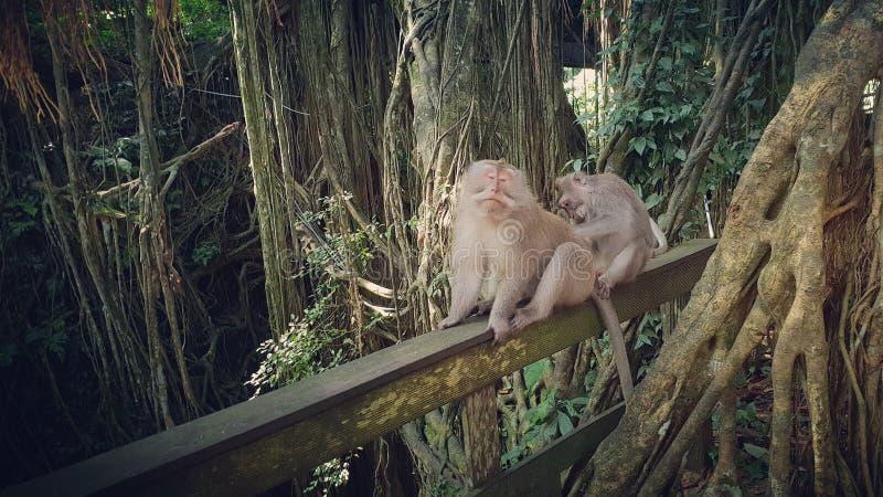 Preparação atada longa dos macacos do macqaque imagem de stock