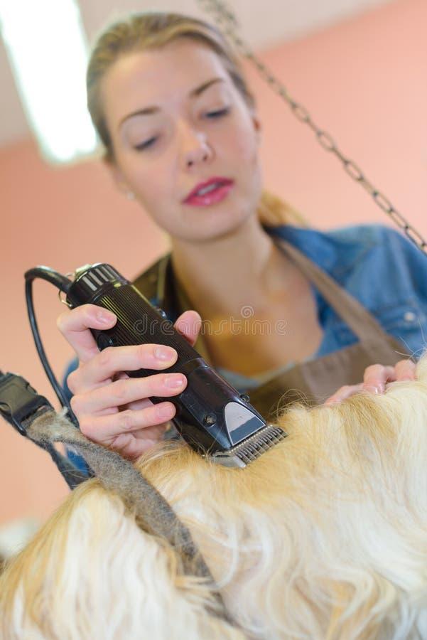 Preparação do cão - buldogue inglês que obtém preparado no fundo branco fotografia de stock royalty free