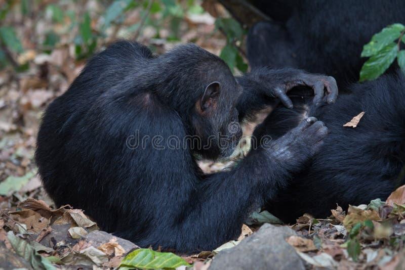Preparação dos chimpanzés orientais fotografia de stock royalty free