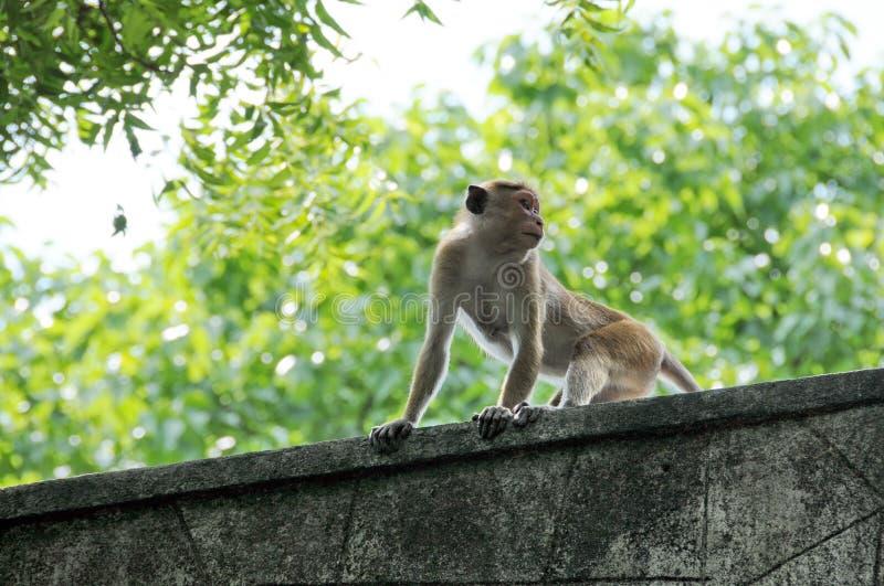Preparação dos Macaques do Toque {sinica do Macaca} fotos de stock royalty free