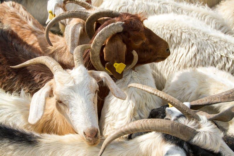 Preparação e matança uma vaca durante muçulmanos imagem de stock