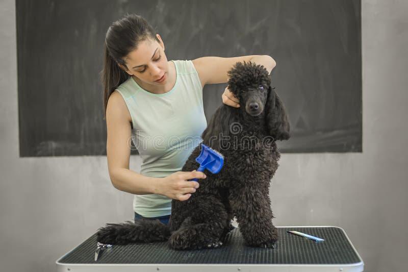 Preparación de un pequeño perro en un salón de pelo para los perros fotografía de archivo libre de regalías