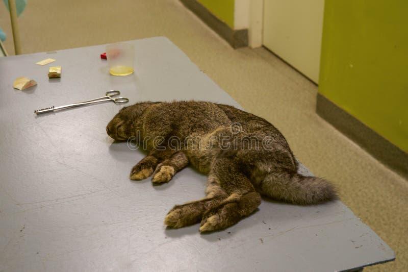 Preparación del conejo para la cirugía imágenes de archivo libres de regalías