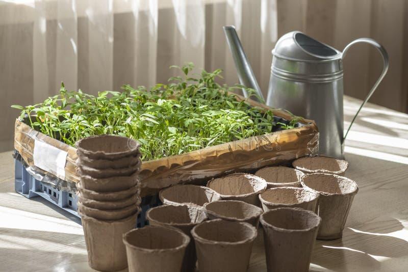 Preparación para plantar almácigos del tomate, una caja con los almácigos, una taza de la turba y una regadera foto de archivo
