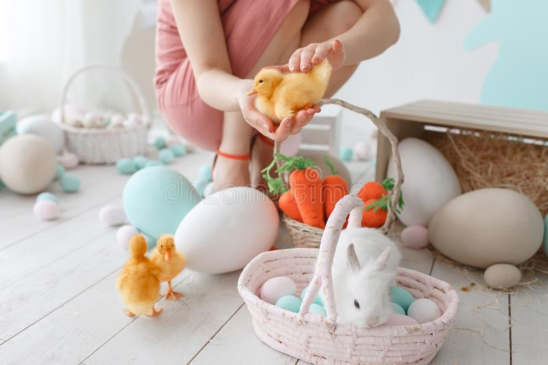 Preparation for easter holiday. Woman setups ducklings and rabbit among painted eggs stock photo