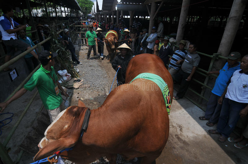 Preparation for Eid al-Adha in Indonesia. A breeders bring his cattle to sell during preparation for Ied al Adha in Solo, Indonesia. Every year Muslims take part stock photography