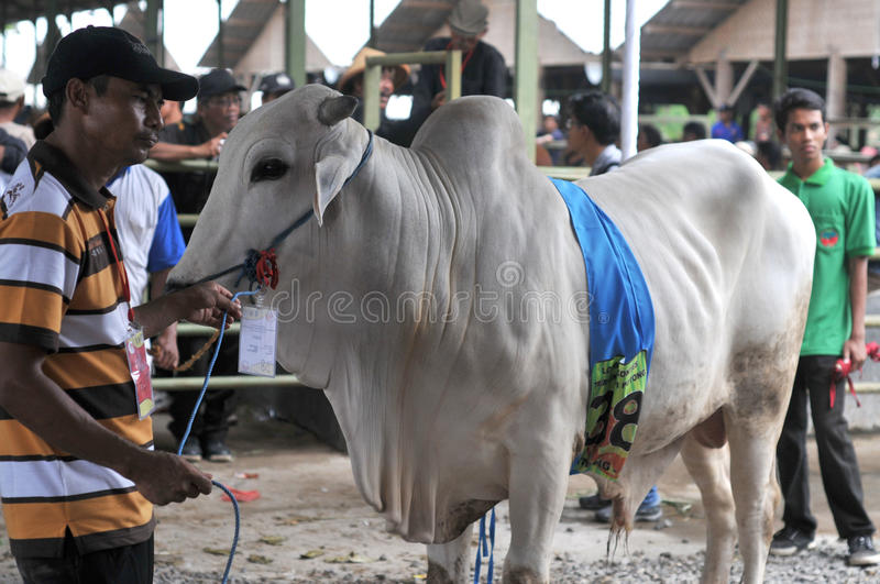 Preparation for Eid al-Adha in Indonesia. A breeders bring his cattle to sell during preparation for Ied al Adha in Solo, Indonesia. Every year Muslims take part royalty free stock image