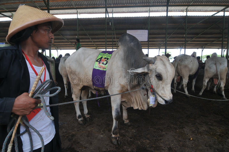 Preparation for Eid al-Adha in Indonesia. A breeders bring his cattle to sell during preparation for Ied al Adha in Solo, Indonesia. Every year Muslims take part royalty free stock photos