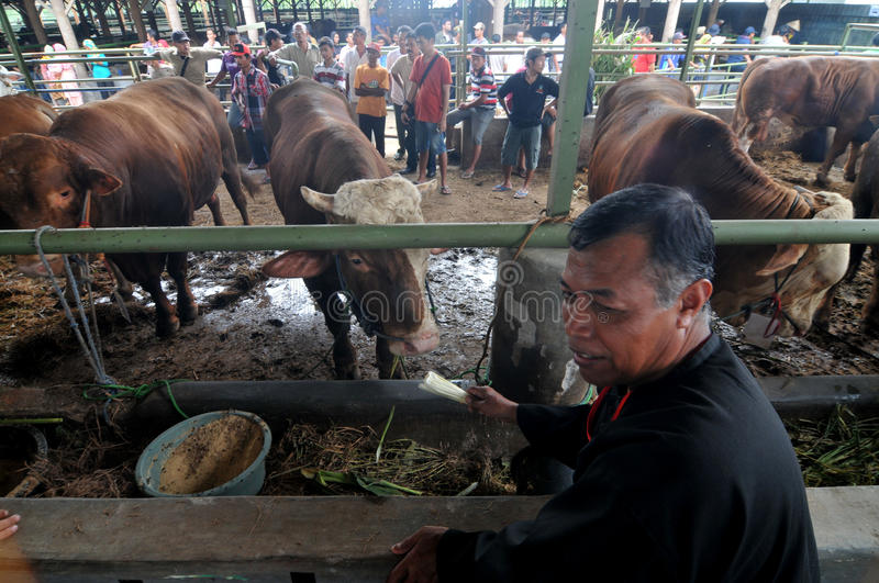 Preparation for Eid al-Adha in Indonesia. A breeders bring his cattle to sell during preparation for Ied al Adha in Solo, Indonesia. Every year Muslims take part royalty free stock photography