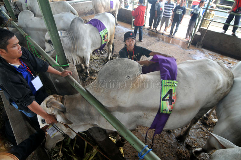 Preparation for Eid al-Adha in Indonesia. A breeders bring his cattle to sell during preparation for Ied al Adha in Solo, Indonesia. Every year Muslims take part royalty free stock images