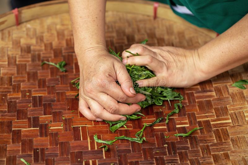 Preparation of tea leaves before drying by hand. Agriculture, antioxidant, aroma, aromatic, asian, background, bamboo, beverage, black, breakfast, brew, china stock photography