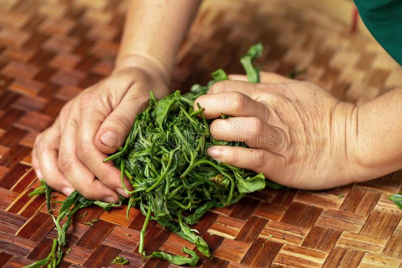 Preparation of tea leaves before drying by hand. Agriculture, antioxidant, aroma, aromatic, asian, background, bamboo, beverage, black, breakfast, brew, china stock image