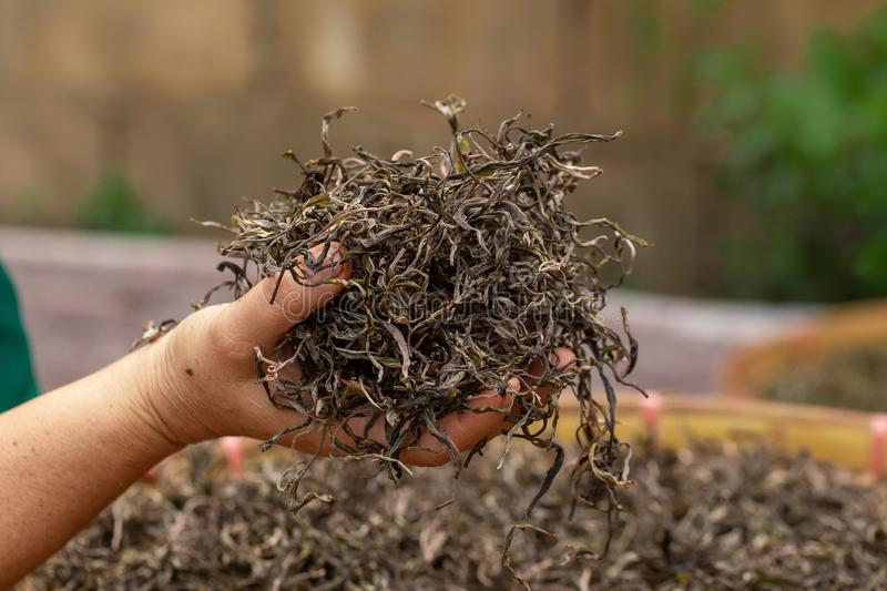 Preparation of tea leaves before drying by hand. Agriculture, antioxidant, aroma, aromatic, asian, background, bamboo, beverage, black, breakfast, brew, china royalty free stock photo
