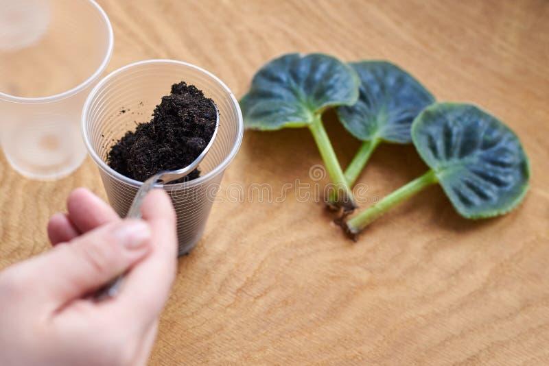 Preparing the land for planting a leaf of violets stock images