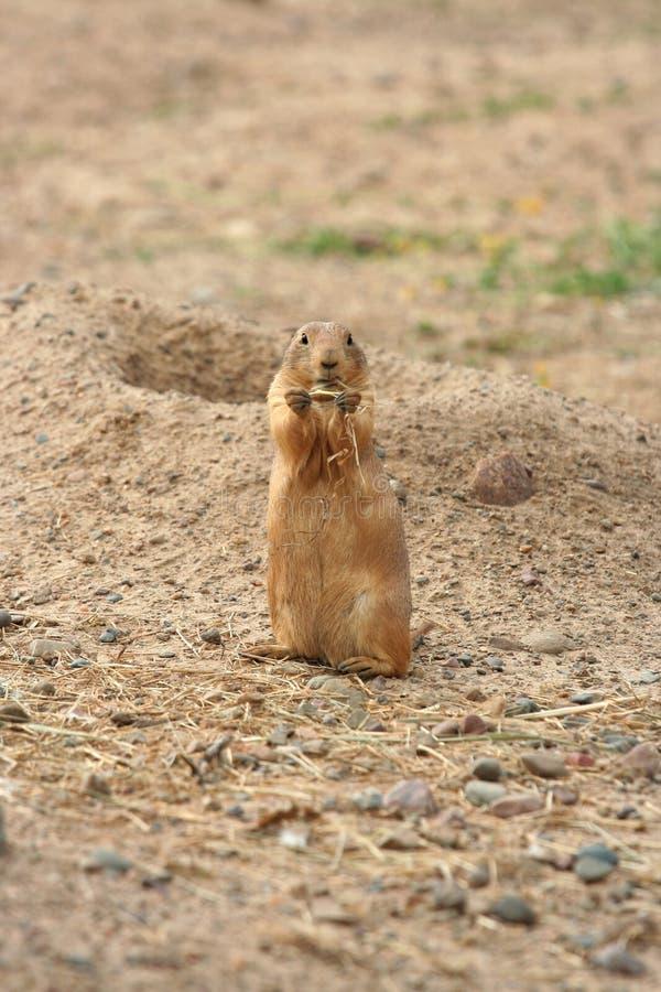 Preryjnego psa łasowania trawa zdjęcia royalty free