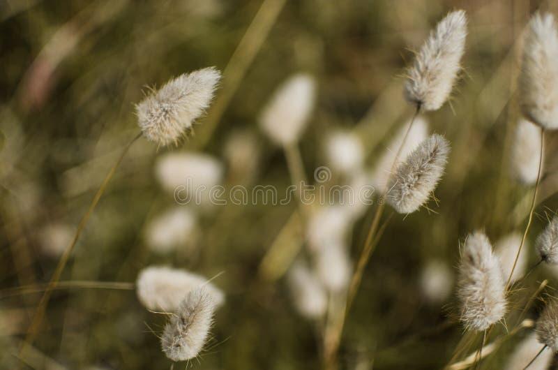 Preryjnej trawy pióropusze zdjęcia royalty free