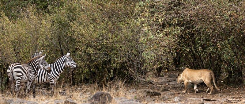 Presa africana de la leona en cebra fotos de archivo
