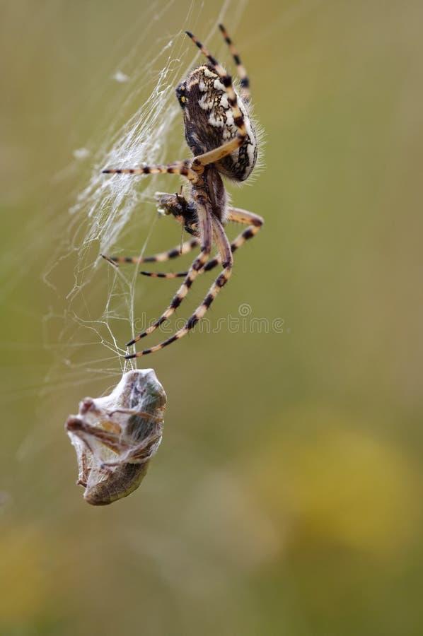 Presa de la araña imagen de archivo libre de regalías