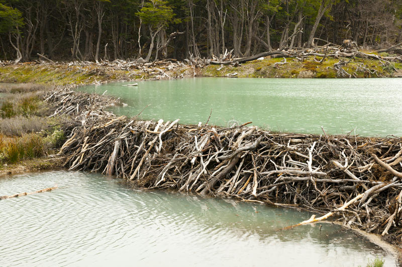 Presa del castor - Tierra Del Fuego - la Argentina foto de archivo libre de regalías