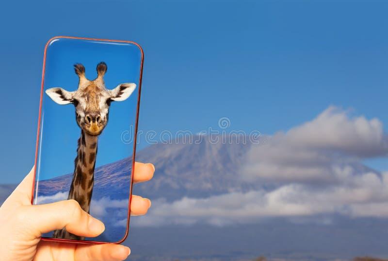 Presa della foto della giraffa e della montagna di Kilimanjaro immagini stock libere da diritti