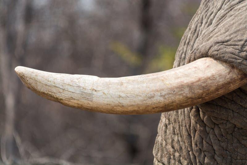 A presa do elefante - close up foto de stock