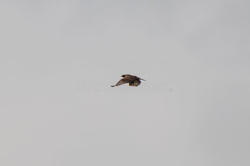 Presa que busca del azor del halcón que vuela fotos de archivo libres de regalías