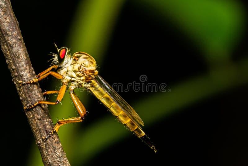 Presa que espera de la mosca de ladrón del Asilidae para en rama en la escena de la noche fotografía de archivo libre de regalías
