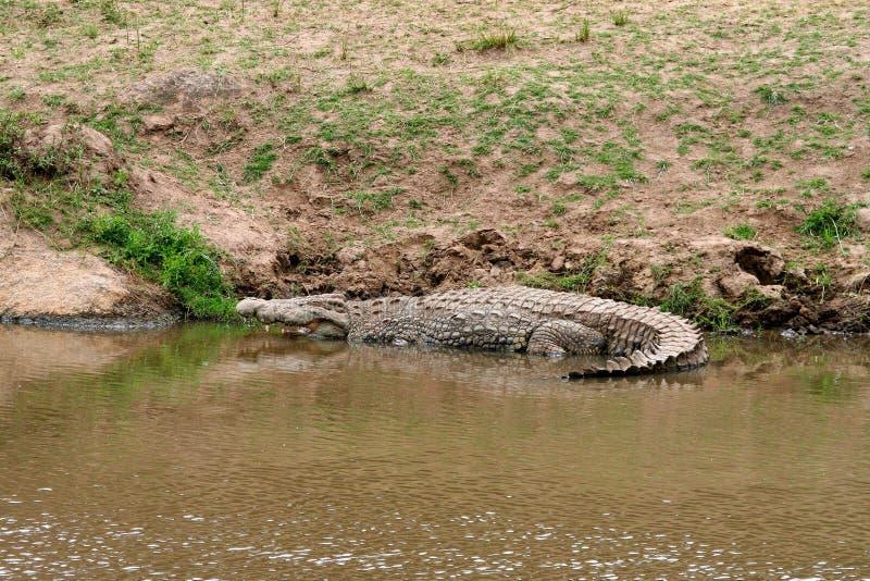 Presa que espera del cocodrilo del Nilo para fotos de archivo