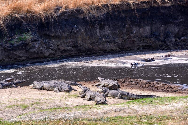 Presa que espera del cocodrilo del Nilo para fotografía de archivo libre de regalías