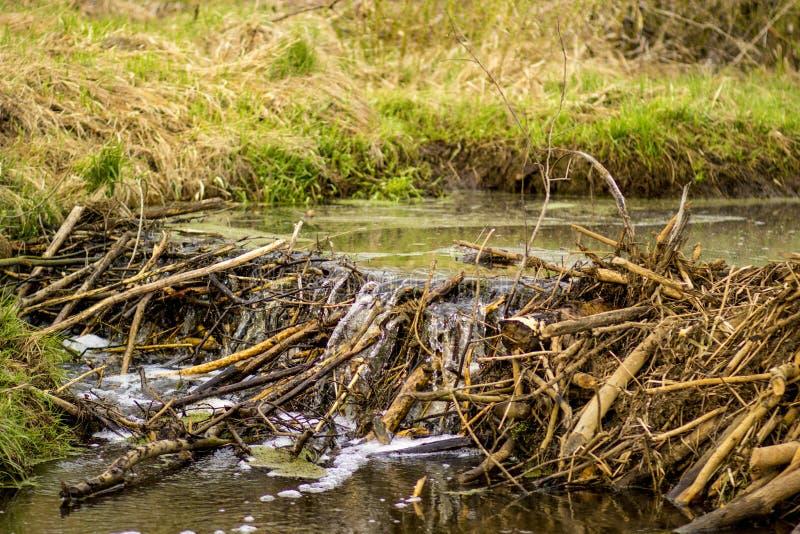 Presas del castor en el río en el bosque fotos de archivo