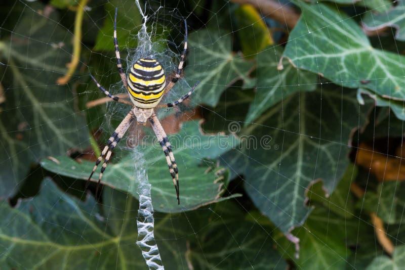 Presas que esperan de la araña de la avispa (bruennichi del Argiope) para en su web foto de archivo