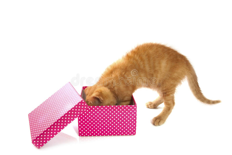 Present for kitten. Spotted pink white box with red kitten isoleted over white royalty free stock images