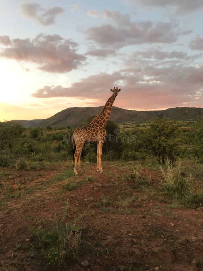 Presentación de la jirafa con puesta del sol fotografía de archivo